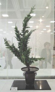 白政 翠明 (ひば)