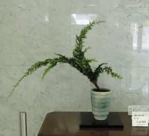 渡部 蘆舟  (孔雀ヒバ)